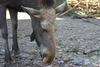 Kopf eines weiblichen Elchs - Elch, Nasenform, Kopf, Säugetier, Wild, Fell, Pflanzenfresser, Wiederkäuer, geweihlos, nordisch