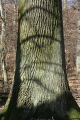 Stamm einer Eiche - Eiche, Rinde, Wald, Stamm, Laubbaum, rauh, alt, groß, Buchengewächs, Holz, Baumstamm, Baum
