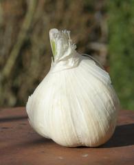 geschlossene Knoblauchknolle - Allium sativum, Knoblauch, Knobi, Heilpflanze, Gewürzpflanze, Zwiebelgewächs