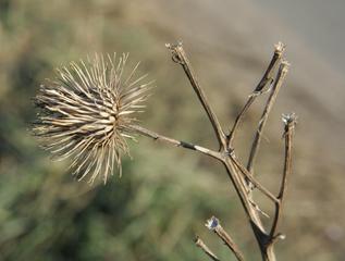 Klette - letztjährig - Asternartige, Korbblütler, Widerhaken, Klette, Karde, Heilpflanze, Klettfrucht, stachelig, stechen