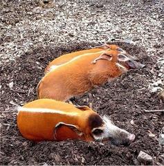 Dreisamkeit - Zoo, Pinselohrschwein, Schwein, Flussschwein