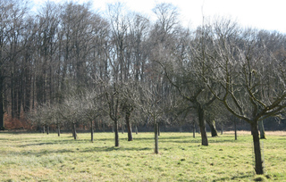 Streuobstwiese im Winter - Obst, Apfelbaum, Streuobst, Wiese, Obstwiese, Bitz, Bongert, Mähwiese, Grünlandnutzung, Ökologie
