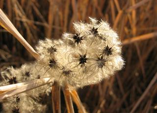 Pflanzensame - Samen, Herbst, Ranunculaceae, Clematis, Klematis, Waldrebe, Flugfrucht