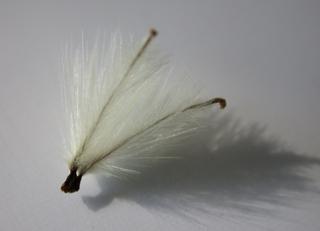 Clematis - Samen #1 - Clematis, Samen, Kletterpflanze, Flugsame, Herbst