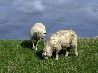 Schafe - Schaf, Nordsee, Deich, Haustier, Tier, zwei, Natur, Nutztier, Wolle, Schottland, Highlands, weich, weiden, Weide, Milch, Fleisch, Paarhufer, Wiederkäuer