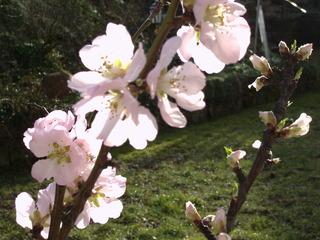 Mandelblüte - Blüte, Mandelblüte, Pflanze, Frühling, Mandel, Baum, Blüten, Mandel, Mandelbaum, Mandelblüte, rosa