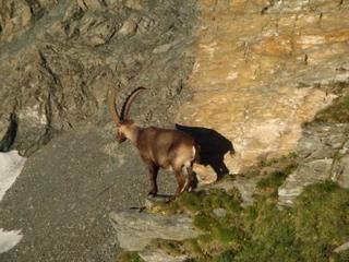 Steinbock - Tier, Steinbock, Alpen, Hornträger, Ziegenartig, Paarhufer, Wiederkäuer