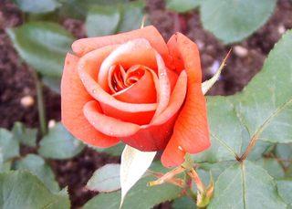 Königin der Blumen - Rose, Blüte