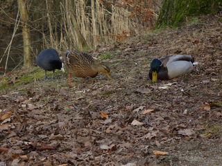 Wasservögel - Park, Teich, trockenes Laub, Nahrungssuche, Wasservögel, Stockentenpaar, Blässhuhn, Enten, Stockente, Blässhuhn