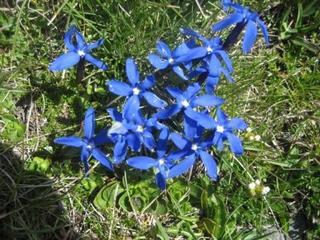 Enzian - Enzian, blau, Symbol