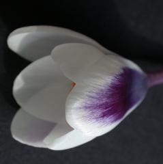 Krokusblüte #0 - Frühblüher, Schwertliliengewächse, Iridaceae, Staubgefäß, Blütenblatt, Zwiebelknolle, Knolle