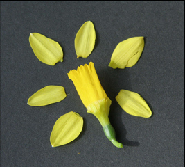 Narzisse #3  - Blüte  zerlegt - Frühblüher, Blütenblatt, Blütenstand, Blütenstandstängel, Kelchblatt, Kronblatt, gelb, Zwiebelpflanze, Heilpflanze, Giftpflanze