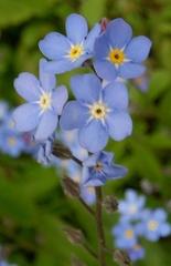 Vergissmeinnicht - Myosotis sylvatica, Familie der Raublattgewächse-Boretschgewächs-Frühjahrsblüher, blau