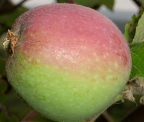 Apfel - Garten, Herbst, Obst, Apfel, Apfelbaum, Frucht