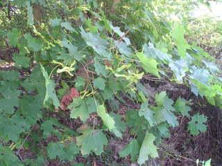 Spitzahorn - Spitzahorn, Ahorn, Zweige, Blätter, Samen, Blatt, Laubbaum