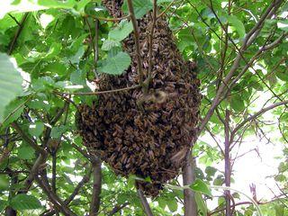 Zellteilung des Bienenschwarms #1 - Bienen, Schwarm, Natur, Imkerei, Bienenschwarm, Bienenvolk