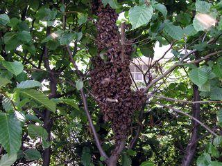 Zellteilung des Bienenschwarms #2 - Bienen, Schwarm, Natur, Imkerei, Bienenschwarm, Bienenvolk