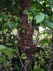 Zellteilung des Bienenschwarms #3 - Bienen, Schwarm, Natur, Imkerei, Bienenschwarm, Bienenvolk
