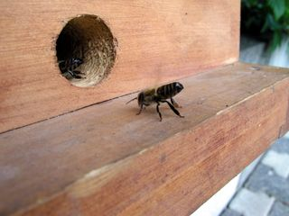 Zellteilung des Bienenschwarms #6 - Bienen, Schwarm, Natur, Imkerei, Bienenvolk, Bienenschwarm, Bienenkasten, anlocken