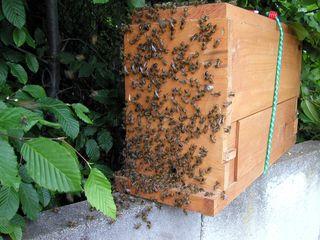 Zellteilung des Bienenschwarms #7 - Bienen, Schwarm, Natur, Imkerei, Bienenvolk, Bienenschwarm, angelockt, Bienenkasten