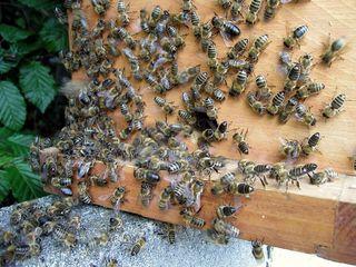 Zellteilung des Bienenschwarms #8 - Bienen, Schwarm, Natur, Imkerei, Bienenvolk, Bienenschwarm, Bienenkasten, sammeln