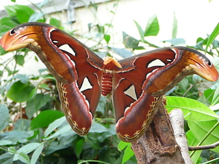 Atlasspinner    Nachtfalter groß - Nachtfalter, groß, Schmetterling, Pfauenspinner