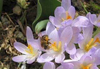 Biene auf Krokusblüte - Biene, Honigbiene, Pollen, sammeln, Krokus, Frühling, Höschen, Pollenhöschen, Frühblüher