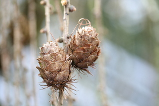 Lärchenzapfen - Lärche, Nadelbaum, Kieferngewächs, Pinaceae, Zapfen, Pockerl
