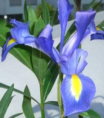 Iris - Iri, Iridaceae, Schwertliliengewächs, Staude, Sommerblume, einkeimblättrig, mehrjährig