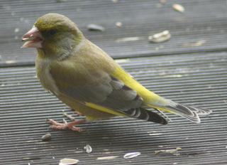 Grünfink - Fink, Sperlingsvogel, Singvogel, Carduelis chloris