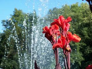 Canna - Springbrunnen, Lindau, Blume, rot, Canna, Blumenrohr
