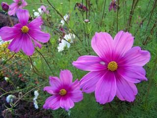 Cosmea - Blumen, rosa, pink, Cosmea, Schmuckkörbchen, Zierpflanze, einjährig