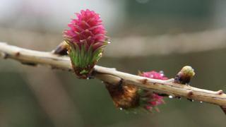 Lärche - neue Blüte #1 - Lärche, Nadelbaum, Kieferngewächs, Pinaceae, Larix decidua, Blüte, Lärchenblüte