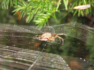 Kreuzspinne - Spinne, Kreuzspinne, Tier, Spinnennetz, Webspinne, Radnetzspinne