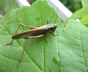 Heuschrecke #1 - Heuschrecke, Insekt, Blatt, Tier, Langfühlerschrecken, Kurzfühlerschrecken