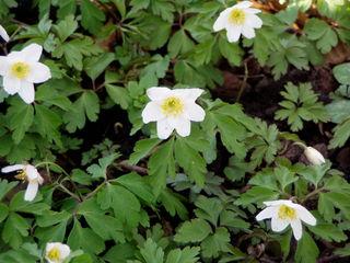 Buschwindröschen - Pflanze, Frühblüher, Frühling, Blüte, Hahnenfußgewächs, Anemone, weiß, Buschwindröschen, Wald, Waldboden, Krautschicht
