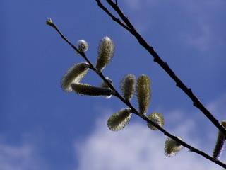 Weidenkätzchen - Frühling, Frühjahr, Frühblüher, blühen, Salix, Zweig, getrenntgeschlechtlich, männlich, Kätzchen, vegetative Vermehrung, Weide, blau, Himmel, Wolke