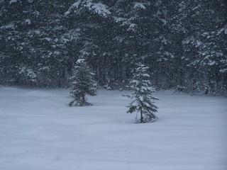 Schneefall - Schnee, schneien, Winter, Wald, Schneefall, Nadelbaum