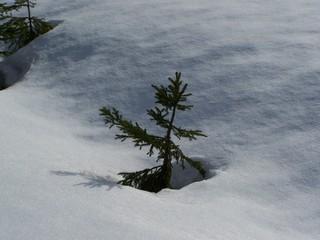 Kleiner Nadelbaum im Schnee - Nadelbaum, Schnee, Winter, kraftvoll, Schatten, Pulverschnee, glitzern, Schreibanlass