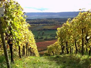 Weinberg im Herbst - Trollinger, Wein, Weinrebe, Herbst, Weinberg, Rotwein
