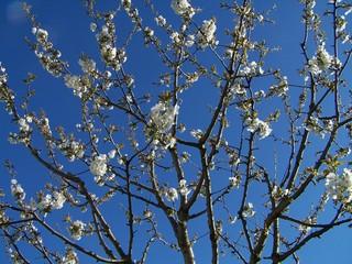 Kirschbaumblüte - Kirschbaum, Kirschbaumblüte, Baumkrone, Blüte, Baum