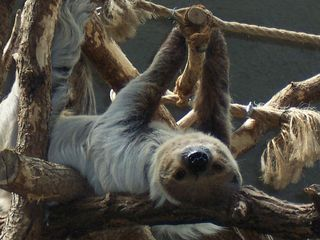 Faultier - Faultier, Säugetier, Zoo, Faulheit, faul, langsam, Ruhe, Gelassenheit, erholen
