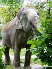 Elefant - Elefant, Dickhäuter, Säugetier, Rüssel, Hunger, fressen, Laub, Pflanzenfresser, grau