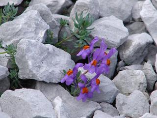 Alpenleinkraut (Linaria alpina) - Alpenleinkraut, Linaria alpina, Rachenbluetler, violett, Leinkraut, Steinkletterer, Stanklitter, Wegerichgewächs