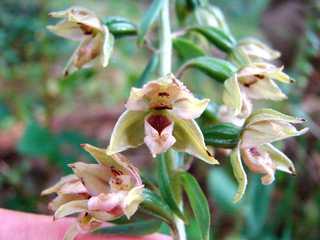 Breitblättrige Stendelwurz (epipactis latifolia) - Stendelwurz, breitblaettrig, Orchidee, epipactis, Sumpf-Stendelwurz, Feuchtgebiet, mehrjährig