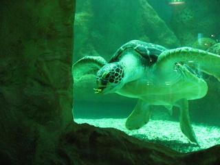 Meeresschildkröte #2 - Schildkröte, Meer, fressen, Panzer