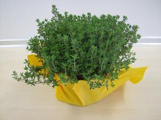 Thymian - Thymian, Gewürzpflanze, Heilpflanze, Lippenblütengewächs, Gewürz, Räucherpflanze