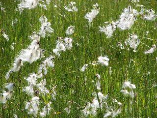 Wollgras (Eriophorum latifolium) - Wollgras, Eriophorum latifolium, Wiese, Gras, Moor