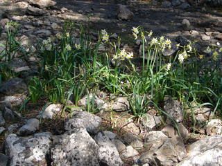 Buket-Narzisse (Narcissus tazetta L.) # 1 - Buket-Narzisse, Narcissus tazetta L., Narzisse, Mallorca, Frühlingblüher, März, Balearen