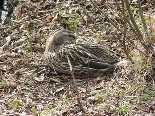 Ente am Ufer - Ente, Wasservogel, Vogel, Tarnung, Tarnfarbe, geschützt, Schutz, Anpassung, weibliche Stockente, Grafik
